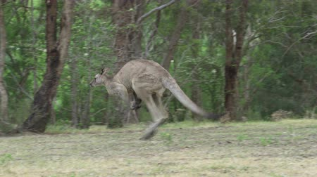 4k tracking shot of a kangaroo hopping in a forest