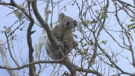 камедь : Koala eating leaves on a eucalyptus tree Стоковые видеозаписи