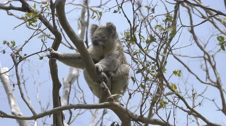 камедь : Koala scratching on a eucalyptus tree