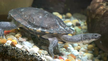 long necked : Eastern long neck turtle in an aquarium