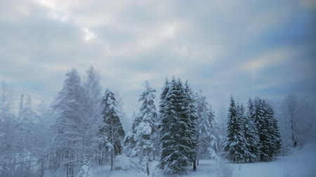 snow covered spruce : train travel in winter. view from the window. snow-covered landscapes and forest