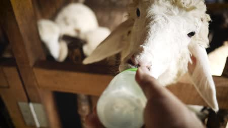 Man feeds lamb with milk