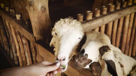 Man feeds lambs in farm