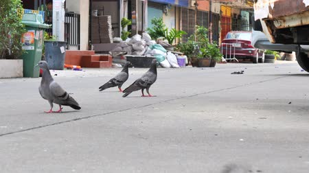 zbloudilý : Stray Pigeons walk around to find food