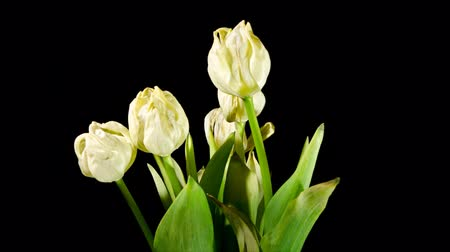tulipany : (zoom-out) Wilting flowers