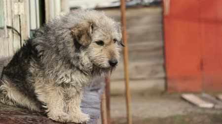 üzgün : A Shaggy Dog Sits Sad, Sniffs The Air, Close-up   Stok Video