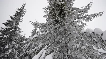 Fir tree in the snow. 影像素材