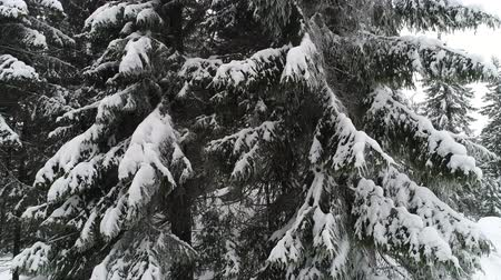 realtime : Winterland, fly over fir tree in the snowstorm. Cold, carpatian.