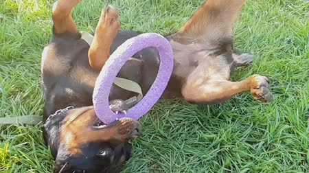 Big dog play with ring toy