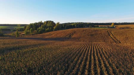 milho : 4K. Flight above corn field at golden sunset, aerial panoramic view.
