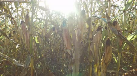 milharal : 4K. Inside the ripe corn field, which ready for harvesting. Stock Footage