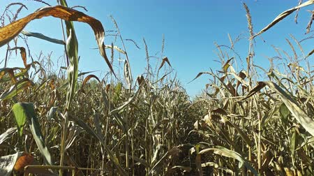 milharal : 4K. Inside the ripe corn field, which ready for harvesting. Close-up panoramic view.