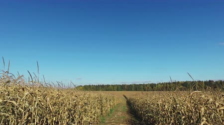 milharal : 4K. Walks through the ripe corn field by dirty road, panoramic view. Stock Footage