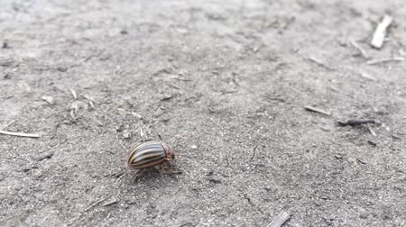 haşarat : A dusty colorado potato beetle walking rightwards, stumbling, falling and overcoming the obstacle stick on its way.