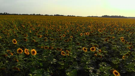 güzelleşmek : Panorama view of sunflower field in the countryside Stok Video