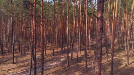 environmentalist : Dolly shot of pine forest
