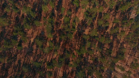 environmentalist : Aerial shot of big pine forest Stock Footage