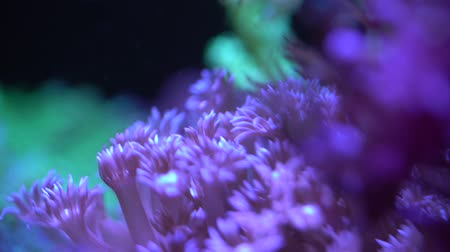 yellow flowers : Goniopora LPS coral in reef aquarium tank