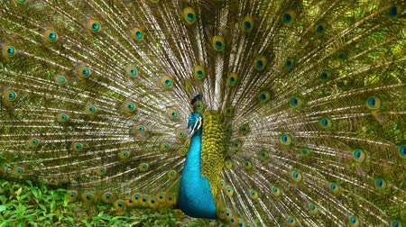 ayrıntılar : Peacock with spread wings in nature