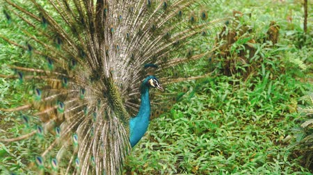 cauda : Peacock with spread wings in nature