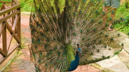 paw : Peacock with spread wings in nature