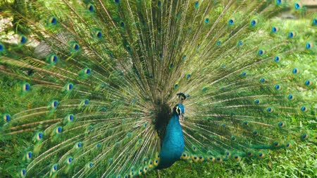 elegancia : Peacock with spread wings in nature