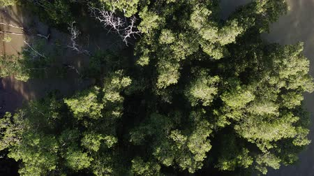 мангровое дерево : aeral view of mangrove forest, malaysia