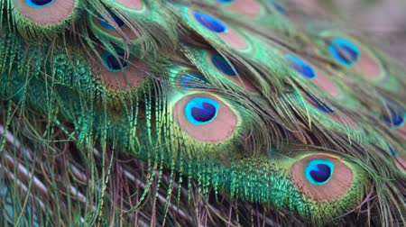 Adult male peacock displaying dolorful feathers