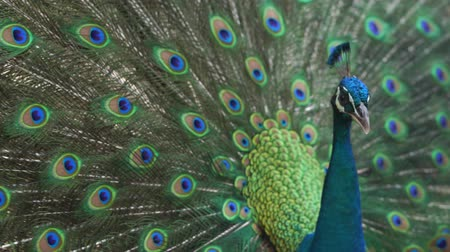Adult male peacock displaying dolorful feathers,
