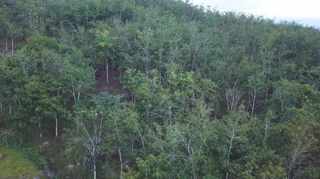 natural resource : rubber plantation aerial footage in the morning with fogs