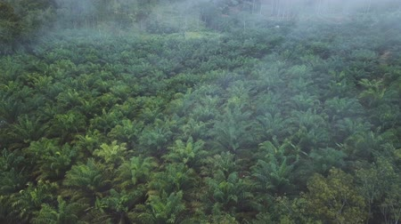 Aerial view of palm plantation in the morning with fogs Dostupné videozáznamy