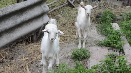 billy goat : Two white goats