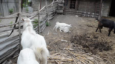 billy goat : Goats in the fence Stock Footage