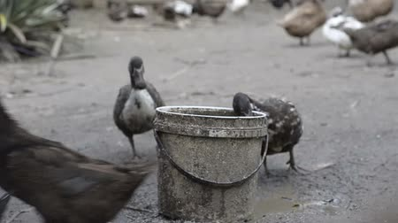 campbell : Domestic Duck in Farm drinking water
