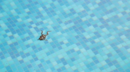 rana : pool frog in the pool