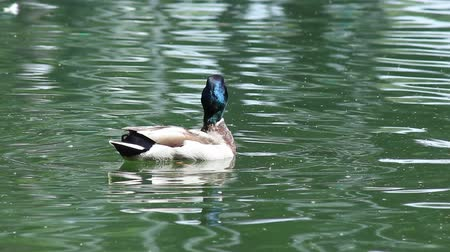 yeşilbaş : Wild duck swims in the lake Stok Video