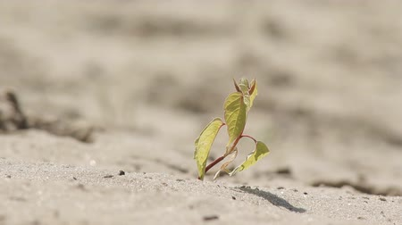 засуха : Small plant on dried, hard soil. A concept of drought, hard life, damaged nature. Стоковые видеозаписи