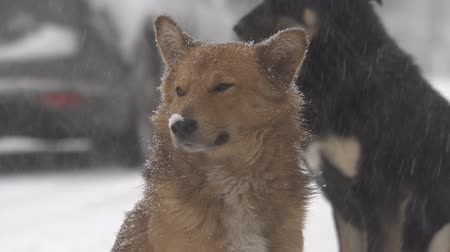mestiços : Dogs in heavy snow