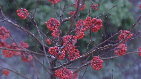 üvez ağacı : A heavy snowfall falls asleep with snow red berries of a mountain ash on the tree