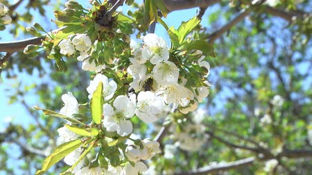 free range : Flowers of the Cherry Tree. Cherry blossom tree planting honey trees honey making honeycomb honeycomb working on a sunny day and warm weather with a blue sky Stock Footage