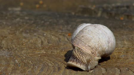 lesma : Snail close-up, crawling on a wooden surface on a warm spring day