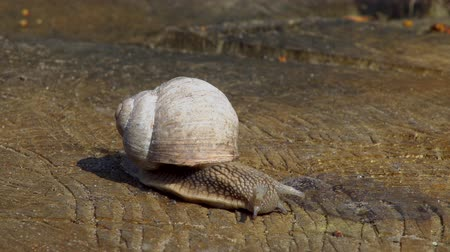 arrasto : Snail close-up, crawling on a wooden surface on a warm spring day