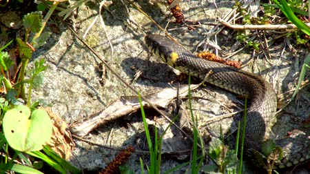 slithering : The snake in the wild after winter on a spring sunny day creeps along the grass next to the pond showing a double tongue Stock Footage
