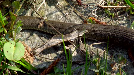 pullu : The snake in the wild after winter on a spring sunny day creeps along the grass next to the pond showing a double tongue Stok Video