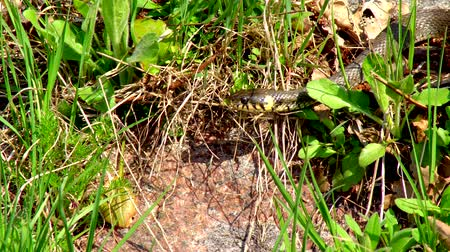 asma : The snake in the wild after winter on a spring sunny day creeps along the grass next to the pond showing a double tongue Stok Video