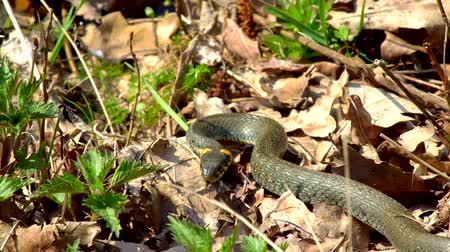 serpentine : The snake in the wild after winter on a spring sunny day creeps along the grass next to the pond showing a double tongue Stock Footage