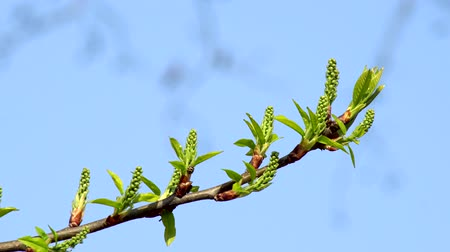 žalud : Young leaves on a branch On a branch of a tree shoots of young leaves with a warm day against the blue sky Dostupné videozáznamy