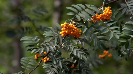 üvez ağacı : Rowan berries not tree