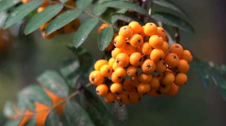 rowanberry : Rowan berries