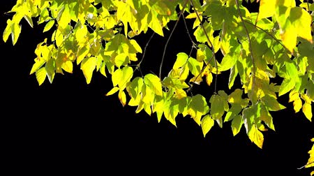 idílico : Alpha channel. Isolated branch of an tree with yellow leaves Vídeos